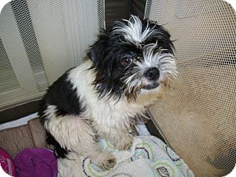 Shih Tzu Puppy for adoption in Sheridan, Oregon - Elmer