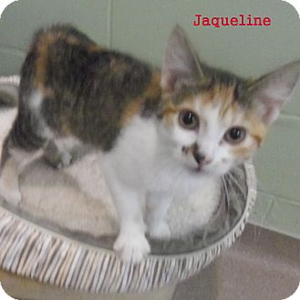 Domestic Shorthair Cat for adoption in Slidell, Louisiana - Jaqueline