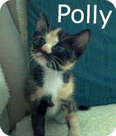 Domestic Mediumhair Kitten for adoption in Phoenix, Arizona - Polly