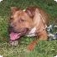 Adopt A Pet :: Beau - Baltimore, MD