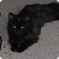 Domestic Longhair Cat for adoption in Warren, Michigan - Mya