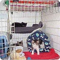 Adopt A Pet :: Four Little Kittens! - Quincy, MA