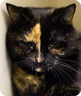 Domestic Shorthair Cat for adoption in Lowell, Massachusetts - Princess