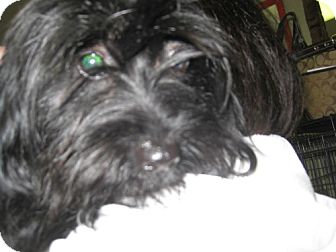 Shih Tzu/Dachshund Mix Dog for adoption in Seahurst, Washington - Lizzy