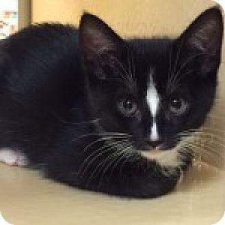 Domestic Shorthair Kitten for adoption in Long Beach, New York - Oreo