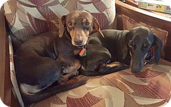 Dachshund Dog for adoption in Green Cove Springs, Florida - Willie & Hank Jr