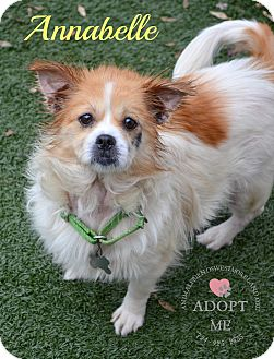 Pomeranian Mix Dog for adoption in Youngwood, Pennsylvania - Annabelle