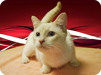 Domestic Shorthair Cat for adoption in New Castle, Pennsylvania - Paxton