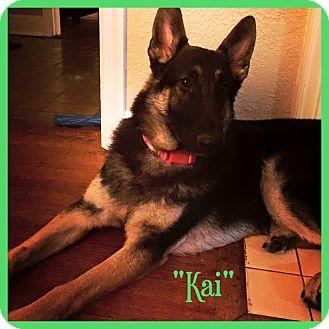 German Shepherd Dog/German Shepherd Dog Mix Dog for adoption in Chicago, Illinois - KAI