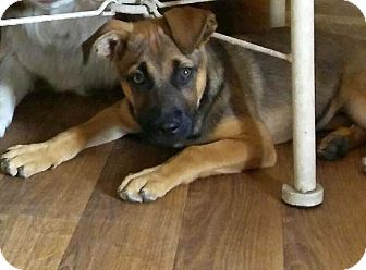Shepherd (Unknown Type) Mix Puppy for adoption in Mesa, Arizona - REBA - 3 MONTH SHEPHERD FEMALE