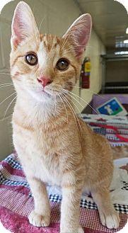 Domestic Shorthair Kitten for adoption in Havelock, North Carolina - Ashton
