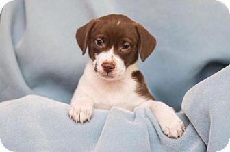 Terrier (Unknown Type, Medium)/Hound (Unknown Type) Mix Puppy for adoption in Elgin, Illinois - Maxx