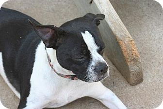 Boston Terrier/Jack Russell Terrier Mix Dog for adoption in Alvarado, Texas - Rudy