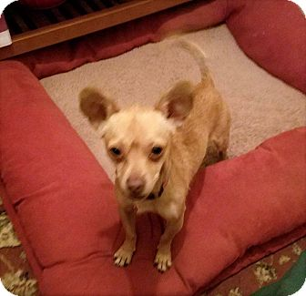 Chihuahua Dog for adoption in Grants Pass, Oregon - Skipper