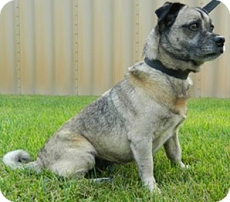Pug Mix Dog for adoption in Columbus, Nebraska - Bernardo