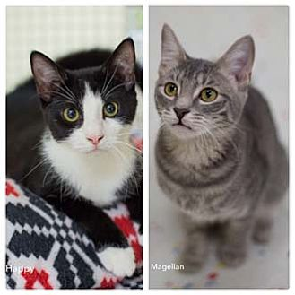 Domestic Shorthair Kitten for adoption in Merrifield, Virginia - Magellan
