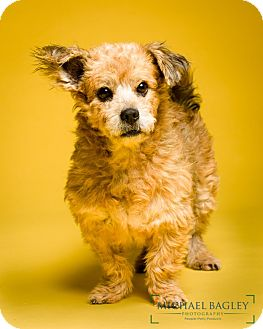 Cairn Terrier Mix Dog for adoption in Bedminster, New Jersey - Hedwig - MEET ME