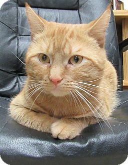 Domestic Shorthair Cat for adoption in Norwich, New York - Ferris