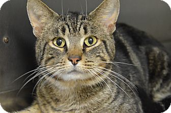 Domestic Shorthair Cat for adoption in Brooksville, Florida - 10309954