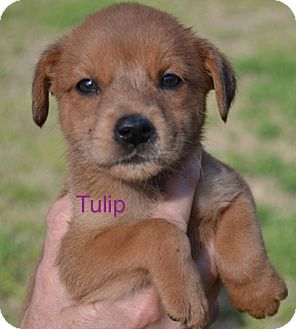 Labrador Retriever Mix Puppy for adoption in Media, Pennsylvania - Tulip