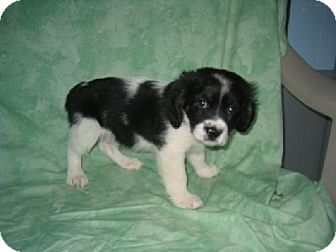 Spaniel (Unknown Type) Puppy for adoption in PRINCETON, Kentucky - SMALL FRY 2