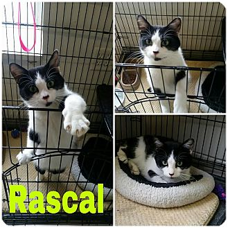 Domestic Shorthair Cat for adoption in Steger, Illinois - Rascal