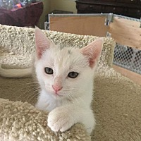 Adopt A Pet :: Snow - Franklin, TN
