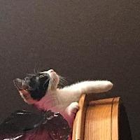 Domestic Shorthair Kitten for adoption in Trexlertown, Pennsylvania - Addison