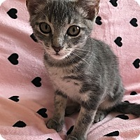 Domestic Shorthair Kitten for adoption in Tampa, Florida - Pixie