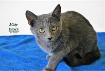 Domestic Shorthair/Domestic Shorthair Mix Cat for adoption in Belle Chasse, Louisiana - Misty