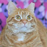 Domestic Shorthair/Domestic Shorthair Mix Cat for adoption in Annapolis, Maryland - Anne