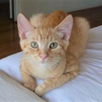 Adopt A Pet :: D'Artagnan - Encinitas, CA