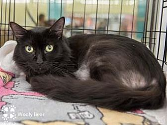 Domestic Longhair Cat for adoption in Merrifield, Virginia - Wooly Bear