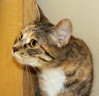 Domestic Shorthair/Domestic Shorthair Mix Cat for adoption in Dodgeville, Wisconsin - Siri