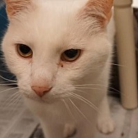 Domestic Shorthair Cat for adoption in Herndon, Virginia - Davey