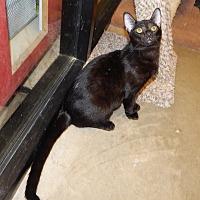 Adopt A Pet :: PIMA - THINKS HE'S A PUPPY! - Plano, TX