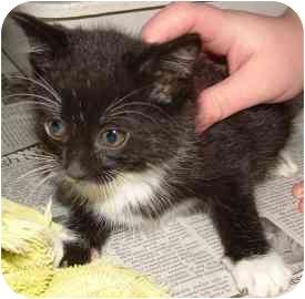 Domestic Mediumhair Kitten for adoption in Farmington, Michigan - Teri Christmas