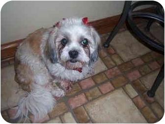 Shih Tzu Dog for adoption in Wauseon, Ohio - Emma
