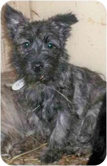 Scottie, Scottish Terrier Puppy for adoption in Kokomo, Indiana - Sqigglyann
