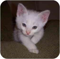 Domestic Shorthair Kitten for adoption in Davis, California - Sprinkles