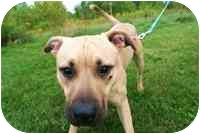 American Pit Bull Terrier Mix Dog for adoption in Walker, Michigan - Harley