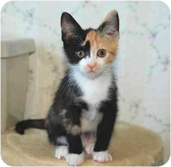 Calico Kitten for adoption in Colmar, Pennsylvania - Rhia