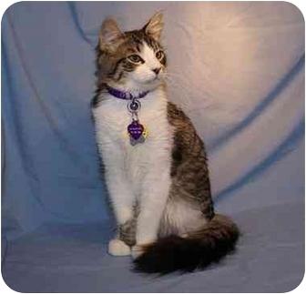 Domestic Mediumhair Kitten for adoption in Houston, Texas - Bryce