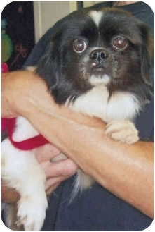 Japanese Chin Mix Dog for adoption in Old Bridge, New Jersey - Oreo