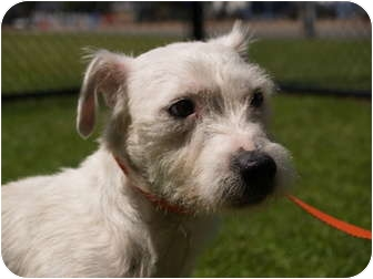 Jack Russell Terrier Mix Dog for adoption in El Cajon, California - Dexter