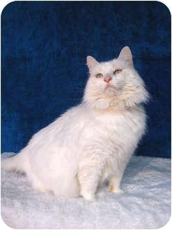 Domestic Mediumhair Cat for adoption in Centerburg, Ohio - Linette