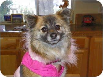 Pomeranian Mix Dog for adoption in Hesperus, Colorado - CELINE