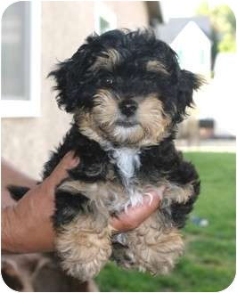 Shih Tzu/Yorkie, Yorkshire Terrier Mix Puppy for adoption in Santa Ana, California - Hallie