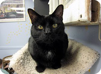 Domestic Shorthair Cat for adoption in Chicago, Illinois - Johnny Guitar