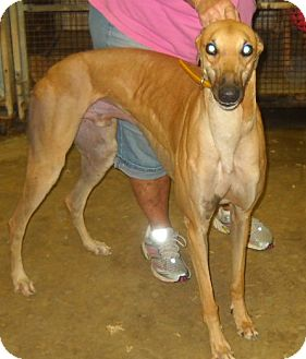 Greyhound Dog for adoption in Knoxville, Tennessee - Moto Flow